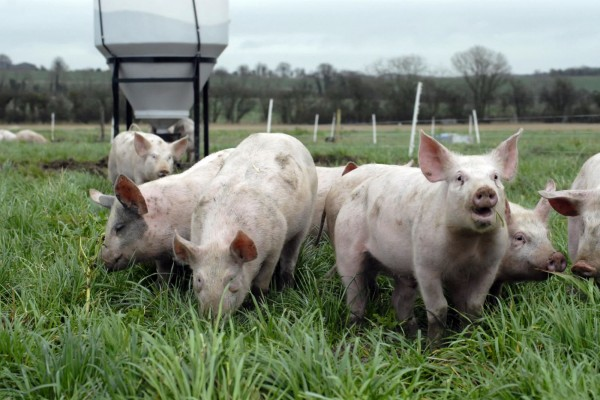 Eight interesting things pigs do