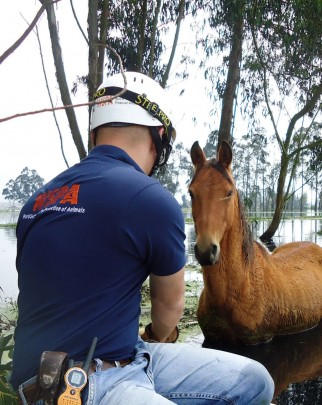 Heavy rains caused some of the worst flooding in Colombia in 2011. In Mosquera, after evacuation some horses were left in floodwater and needed to be rescued. The horses were treated and taken to a farm to find their owners or be re-homed.