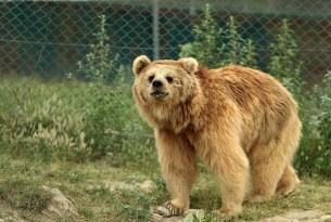 Bhoori, one of the Himalayan brown bears at Balkasar sanctuary