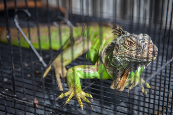 A caged iguana for sale