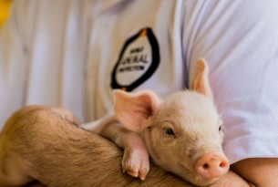 World Animal Protection staff holding piglet - Animals in farming