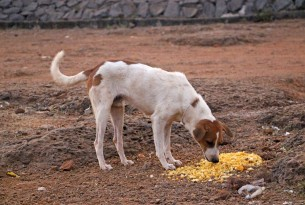 Stray dogs in Jaisalmer, India