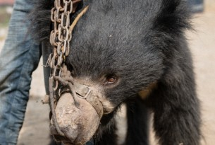Dancing bear in leash and chains in Nepal