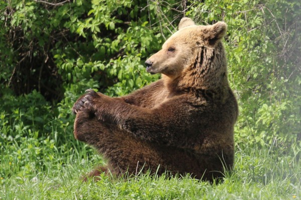One of the resident bears at the Romanian bear sanctuary enjoying a relaxing sit in the grass.