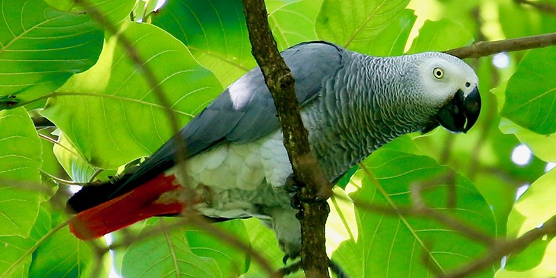 A wild African grey parrot resting on a tree branch in Uganda.