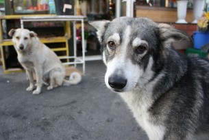 Stepping forward for stray dogs in Romania
