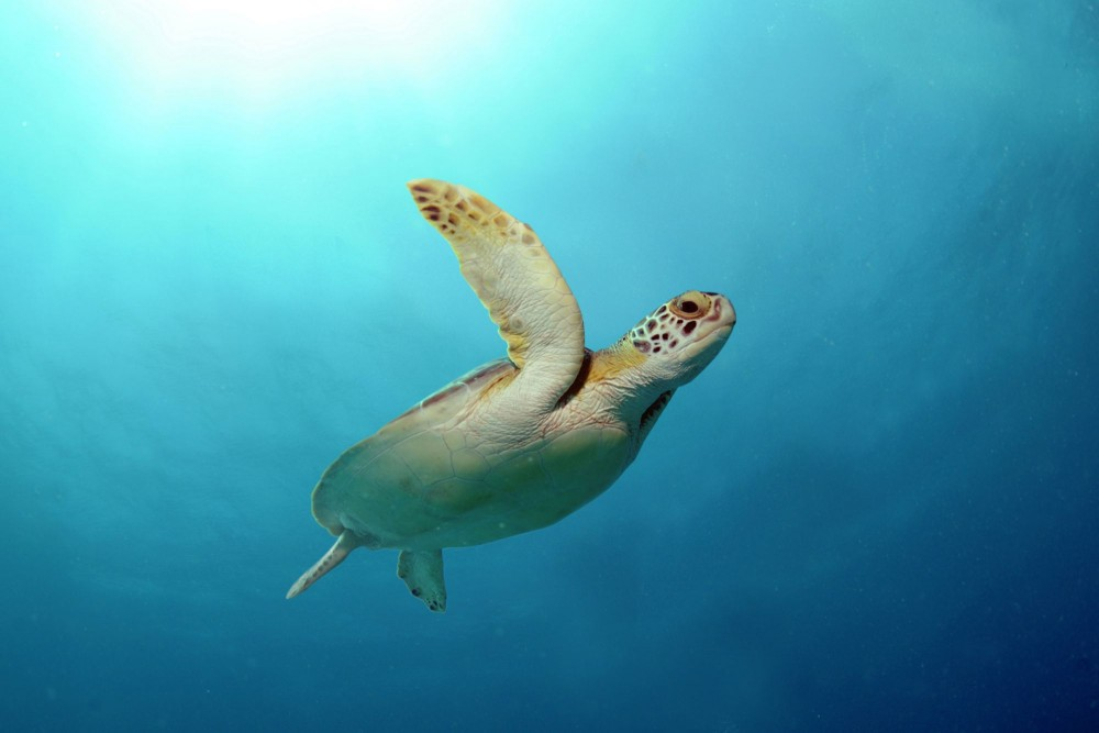 A wild green sea turtle off the Cayman Islands - World Animal Protection