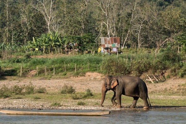 En elefant i MandaLao Elephant Conservation, som vi støtter - World Animal Protection