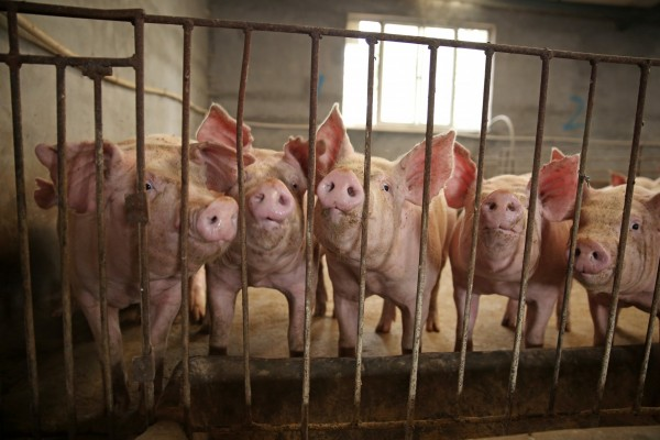 Pigs in sow stalls