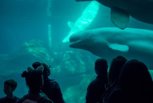 Beluga whale in an aquarium with people watching through the glass