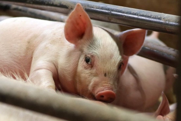 Piglet with his mother in a cage on a factory farm - Raise Pigs Right - World Animal Protection