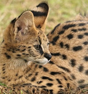 A serval in a sanctuary.