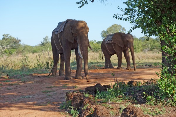 Two elephants are chained in their own habitat.