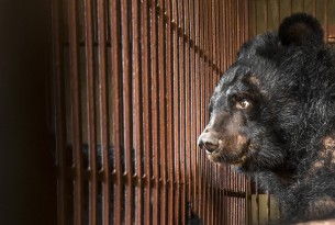 End in sight for cruel bear bile industry in Vietnam