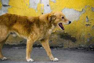 En herreløs hund i staten Puebla i Mexico. World Animal Protection har hjulpet landet med at udrydde rabies ved at vaccinere hundene.