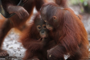 young orangutans in the wild