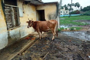 New research exposes the suffering of 50 million cows and buffaloes in illegal Indian dairies