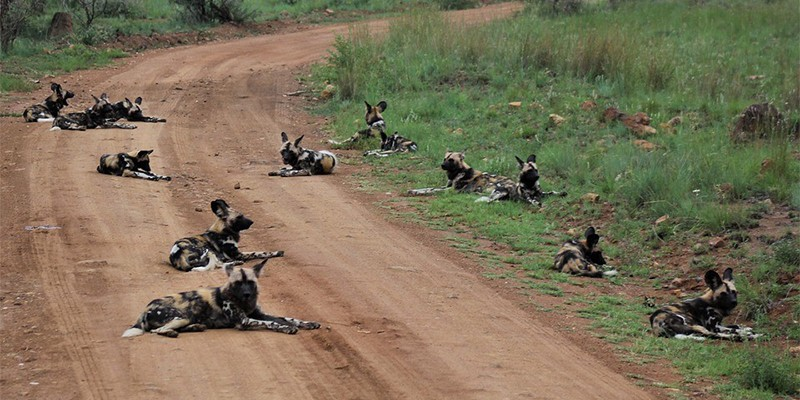 A pack of wild African dogs sits on a dusty road, with some lying on the green grass. They are cream-coloured with big black spots and long ears.