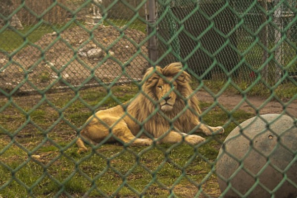 Lion in small, barren enclosure at Jungle Cat World in Ontario, Canada