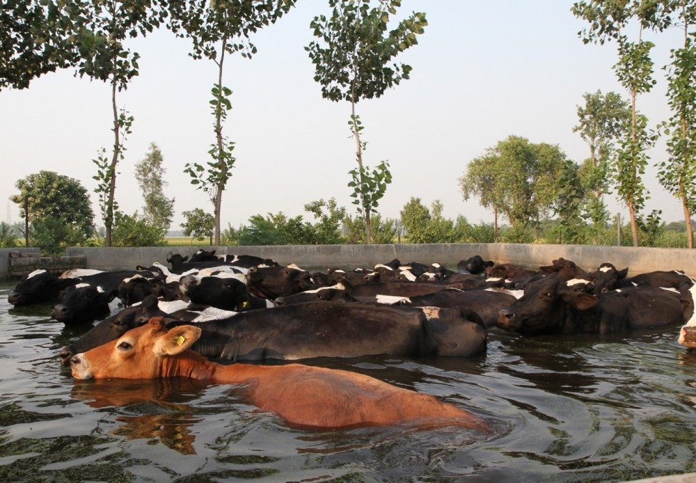 Dairy animals, wallowing cows in the pool