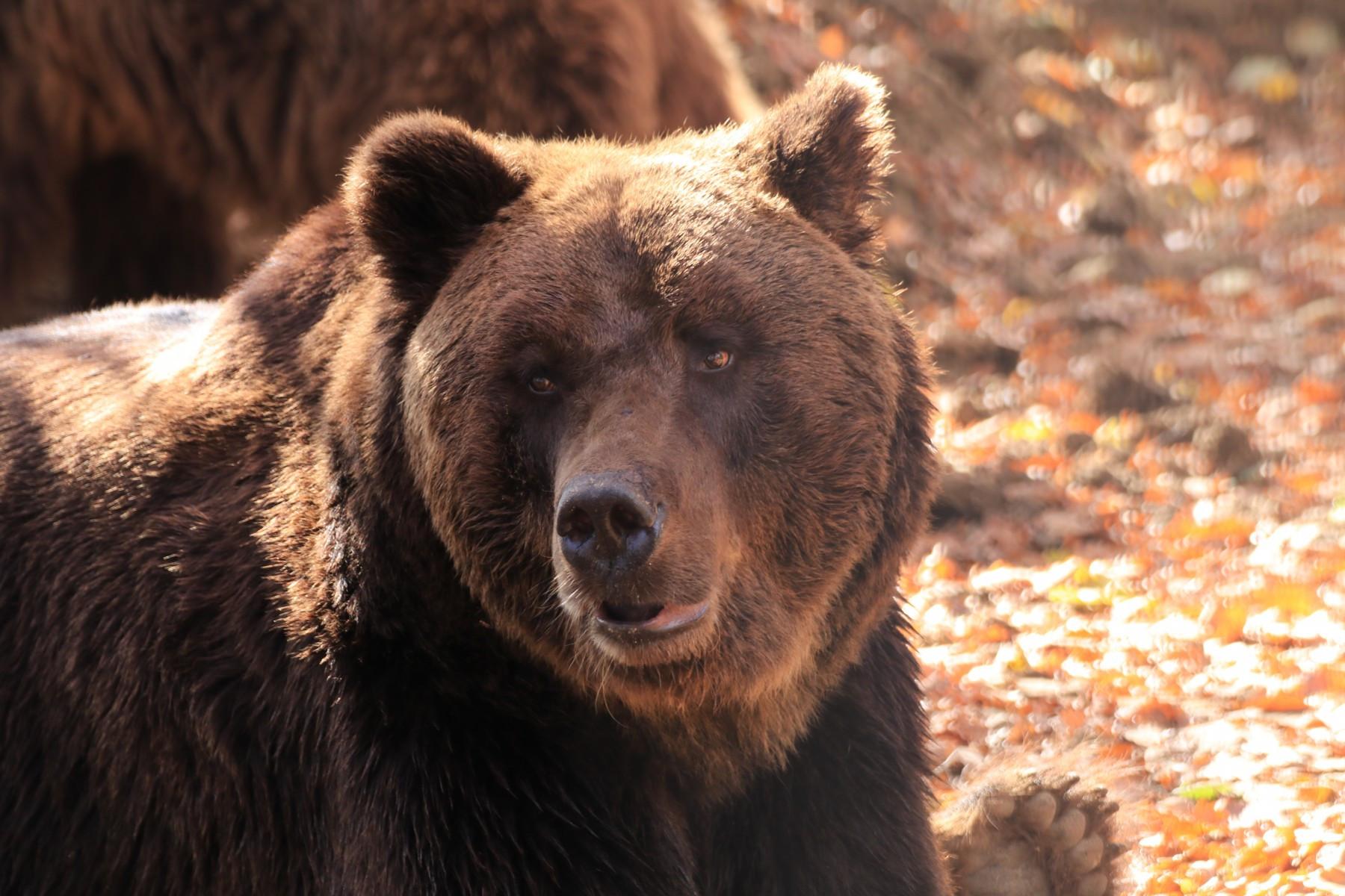 Timka, um urso marrom de 20 anos, sentado em meio à floresta do santuário Libearty