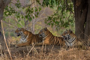 Tigers resting in the wild in Tadoba Tiger Reserve by Shreya Singha Ray