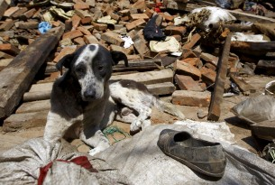 Terremoto: World Animal Protection socorre animais no Nepal