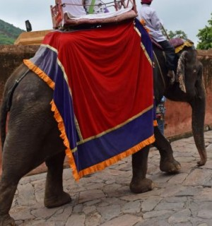 Elephant walking uphill with people on its back at Amer Fort, India - World Animal Protection