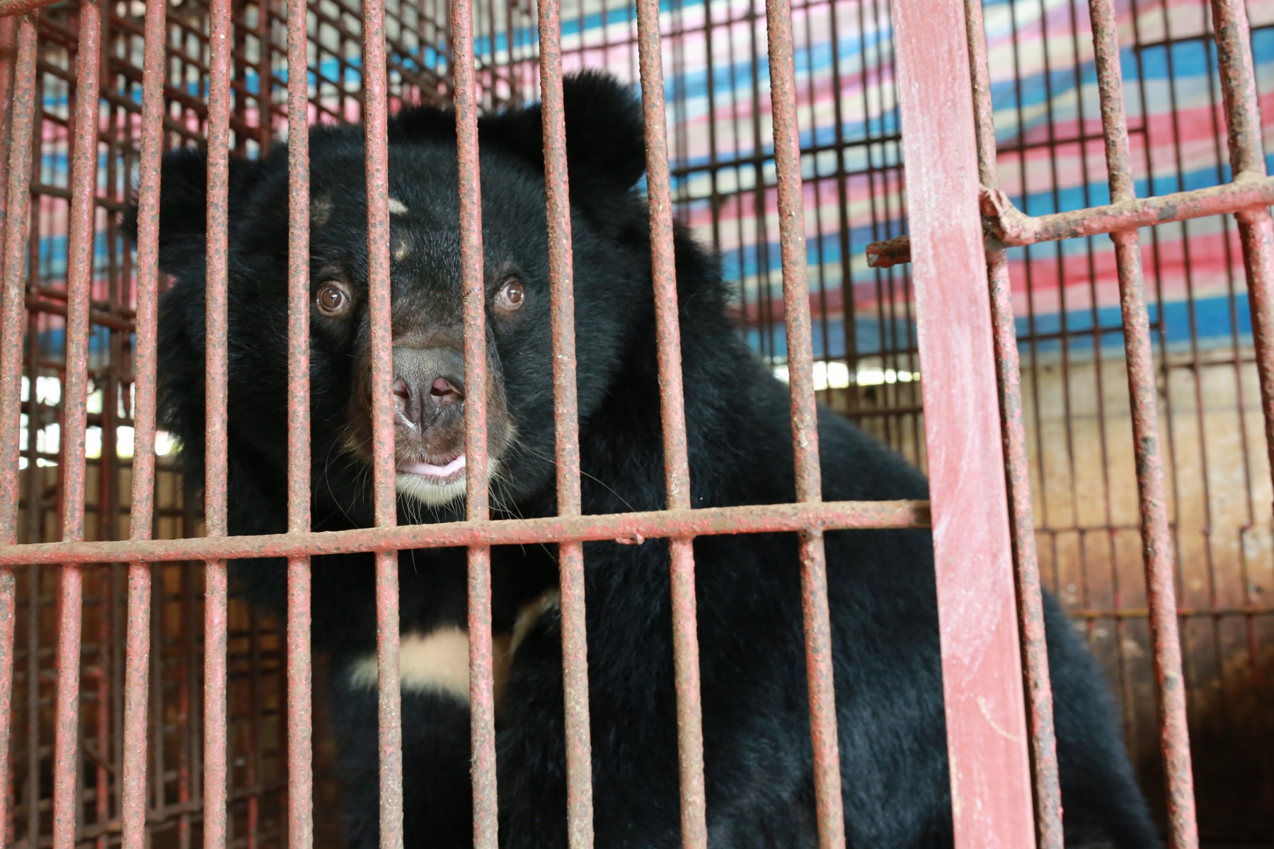 In 2019, a bear bile facility in Vietnam finally agreed to surrender 6 bears as a result of our ongoing pressure, and microchipping work in the country. Pictured: Male bear (150kg) from cage 1. Credit: World Animal Protection / Tony Tran