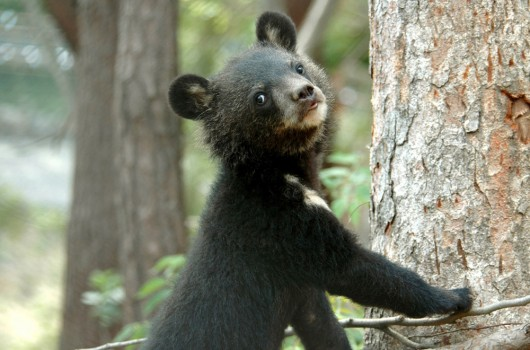 Moonbears like this cub, pictured at the Endangered Species Preservation Centre in South Korea, are commonly used in Asia for their bile