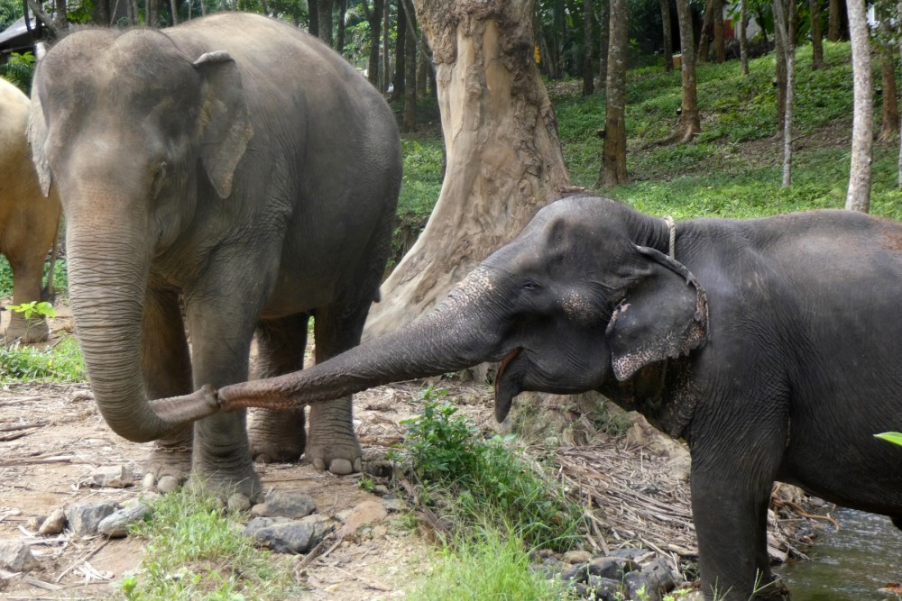 Elephants, Sow (right) greeting Jahn at the Following Giants venue in Thailand