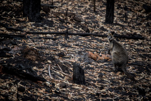 Kangaroo in burned bush after Australian bushfires