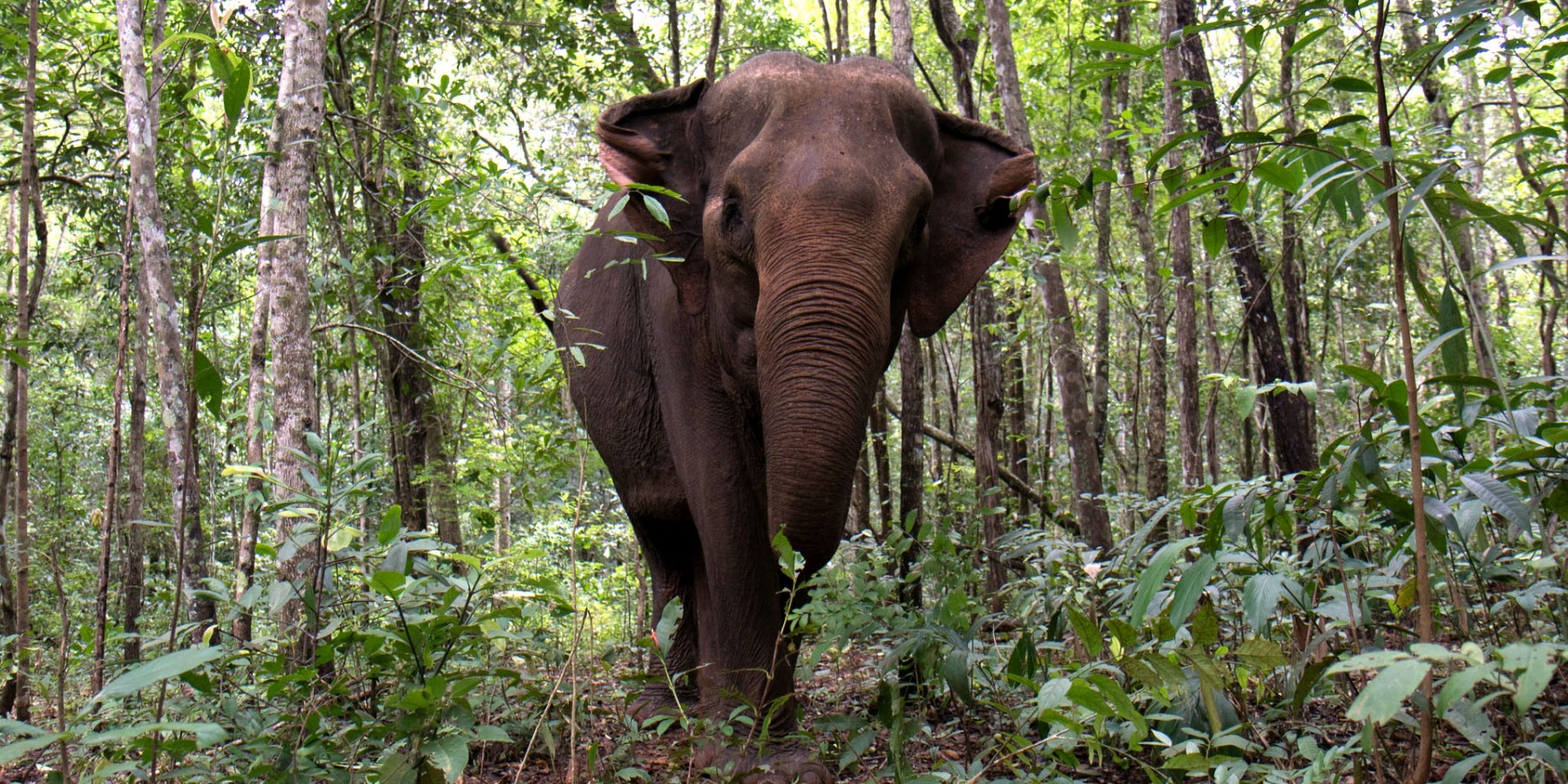 An elephant in the forest at Elephant Valley Project (EVP), Cambodia