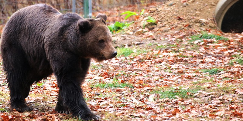 Roxana, a rescued bear, in her outdoor enclosure. The grass is green below the brown fallen leaves.