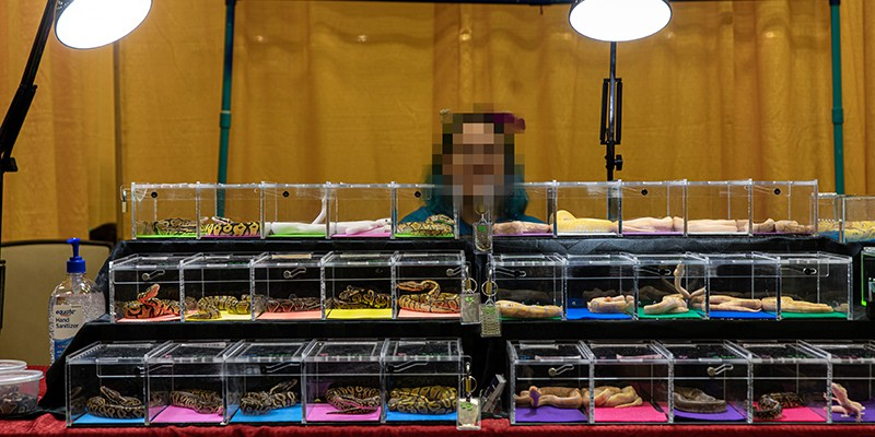 A seller at a reptile expo sits behind a display of 3 rows of clear plastic boxes containing snakes.