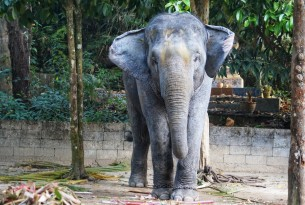 Asian elephant in captivity