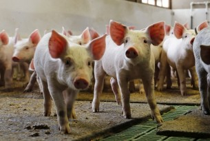 Pigs at an indoor farm in China - World Animal Protection - Change pigs' lives