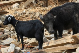 A six-month-old water buffalo calf and two adult female goats in the rubble of their former shelter, Kavre District, Nepal.