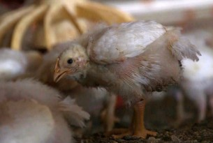 14 day old broiler (meat) chickens in a commercial indoor system. Credit: World Animal Protection
