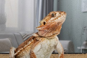 Bearded dragon in domestic environment - Wildlife. Not pets