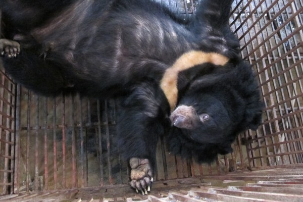 Chinese attitudes ready to turn against brutal bear bile
