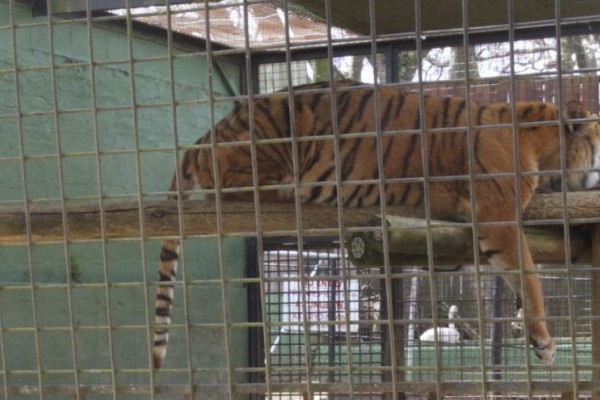 A tiger sleeps in small barren cage