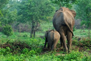 Wild asian elephants in Udawalawa National Park in Sri Lanka