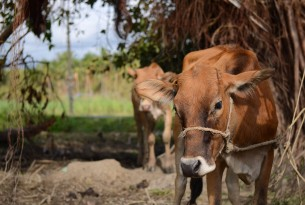 A cow outdoors following Typhoon Haiyan