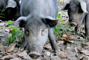 Pig in Assam, India after flooding in 2012 - World Animal Protection - Animals in disasters