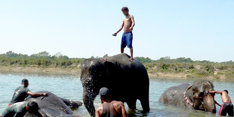A man standing on an elephant in a shallow river. Around him, more tourists with elephants are visible.