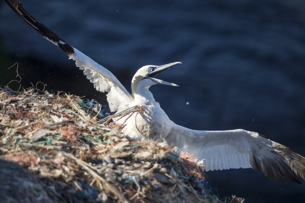 Adult northern gannet on RSPB Grassholm Island entangled in discarded ghost fishing gear