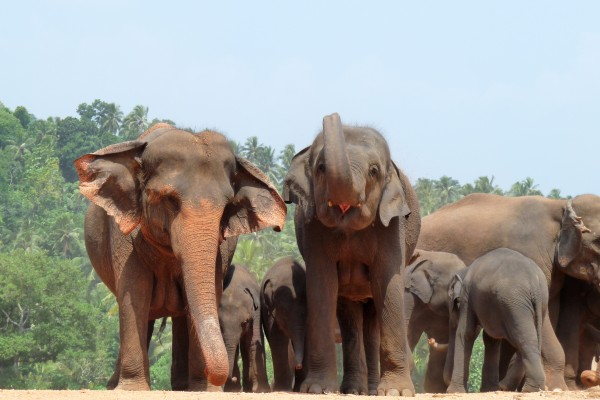 Asian elephants at Pinnawela orphanage in Sri Lanka.