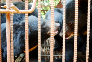China is ready to turn against cruel bear bile industry