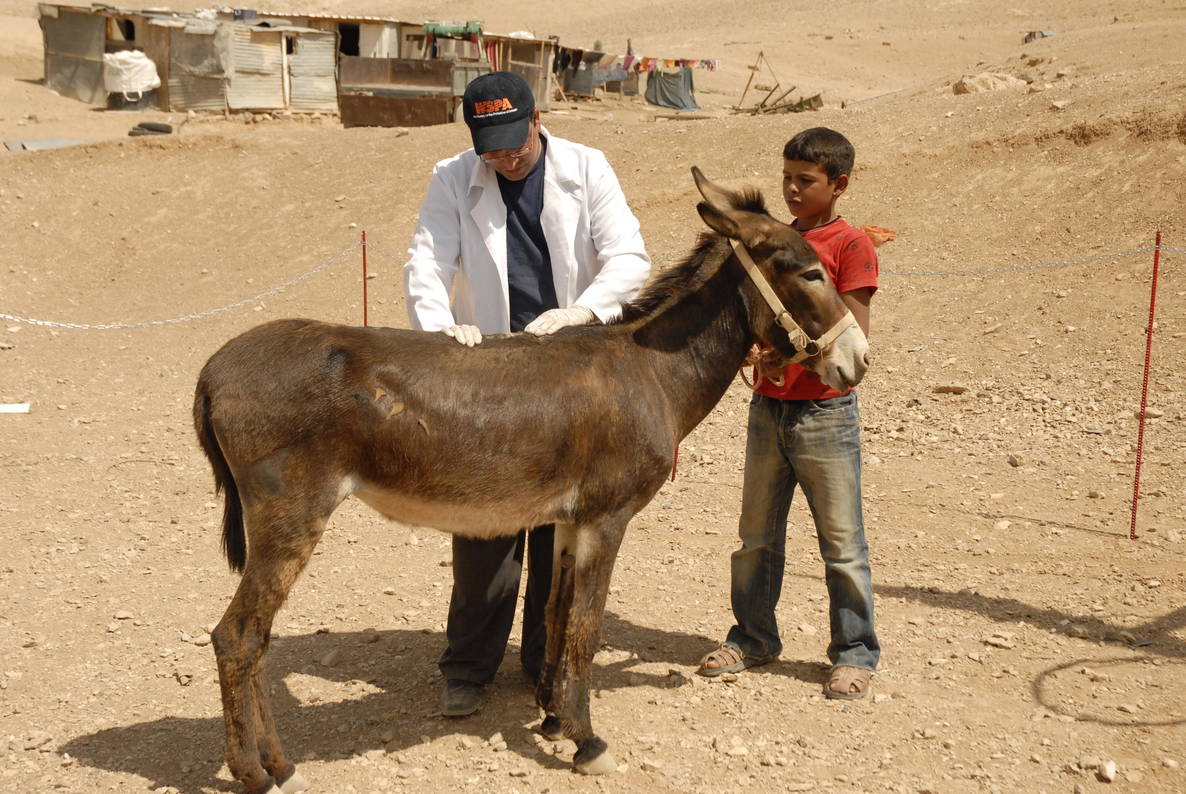 Donkey in Palestine